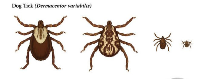 Dog Tick in it's different stages